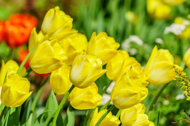 Gebied van gele tulpen. bloem achtergrond. zomertuin landschap