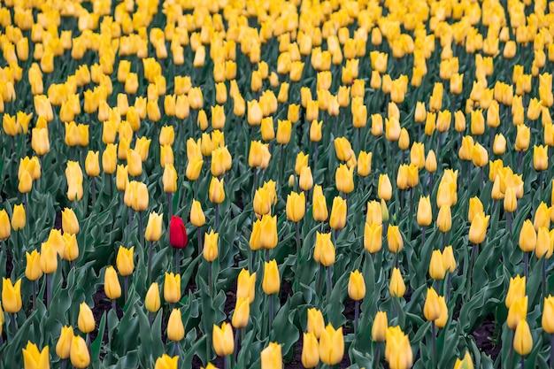 Gebied van gele tulpen en één rode tulp. zwart schapen, buitenstaanderconcept: één rode bloem op het gebied van gele bloemen.
