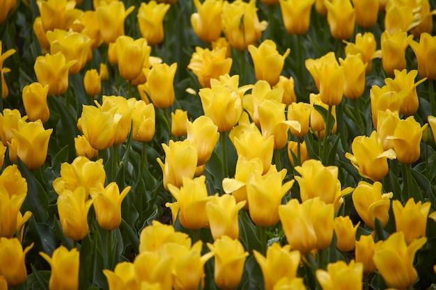 Gebied van gele tulpen in het voorjaar na regen
