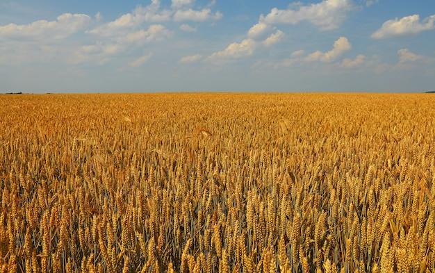 Gebied van gouden rijpe tarwe of rogge oren onder heldere blauwe hemel, hoge hoekmening