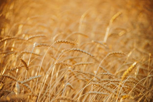 Gebied van gouden tarwe in zonlicht