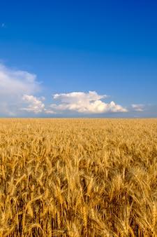 Gebied van gouden tarwe op blauwe hemelachtergrond met witte wolken. landbouw en landbouwconcept, exemplaarruimte, verticale oriëntatie