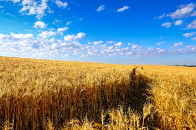 Gebied van gouden tarwe op helling en tractorsleep