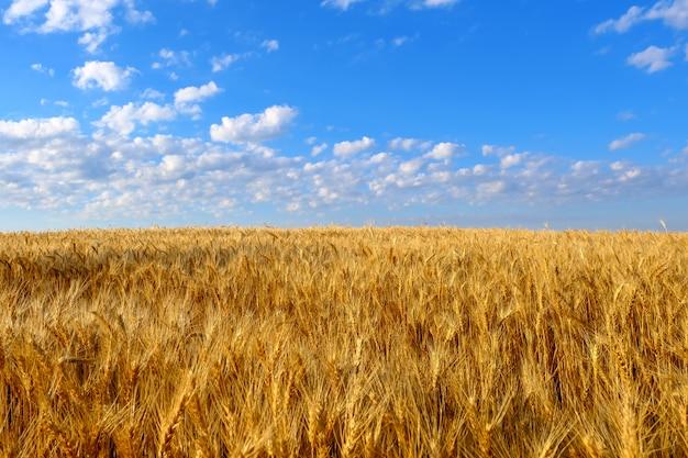 Gebied van gouden tarwe