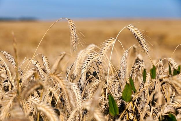 Gebied van granen in de zomer een landbouwgebied met vergeelde rijp granen in de zomer