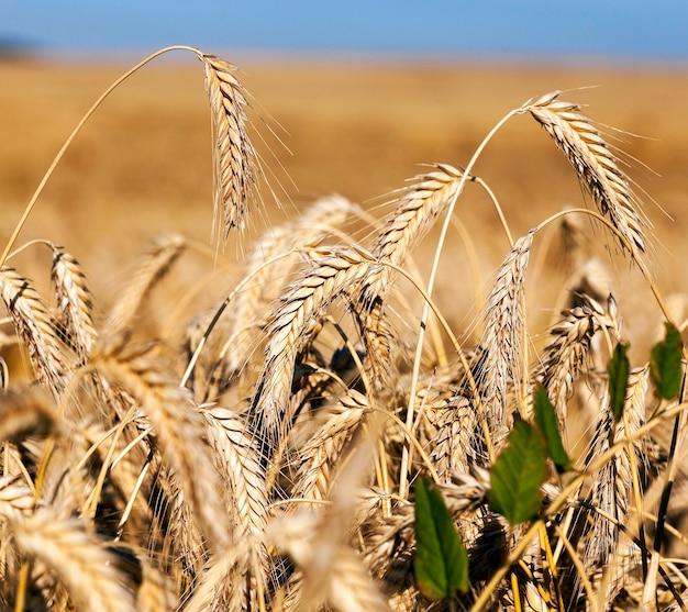Gebied van granen in de zomer een landbouwgebied met vergeelde rijp granen in de zomer Premium Foto