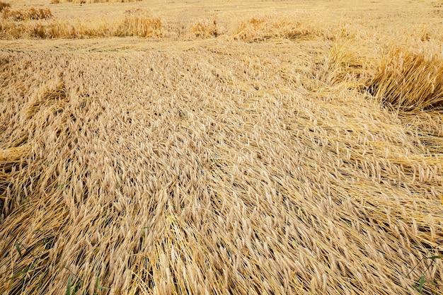 Gebied van granen in de zomer - een landbouwgebied met vergeelde rijpe granen in de zomer
