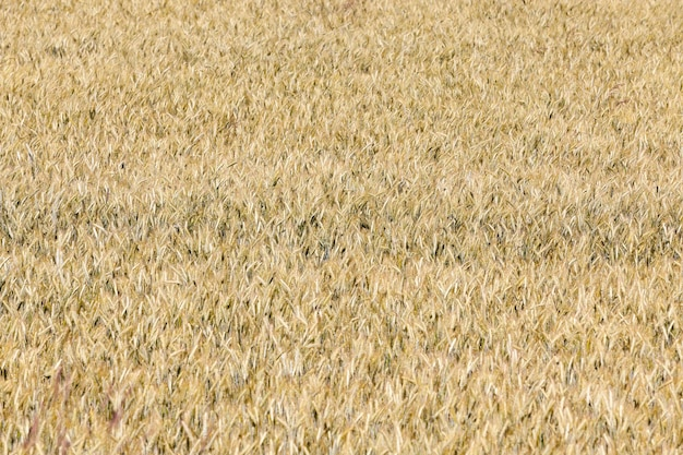 Gebied van granen in de zomer - een landbouwgebied met vergeelde rijpe granen in de zomer Premium Foto