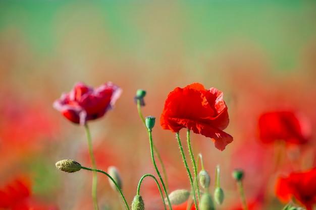 Gebied van heldere rode maïs papaver bloemen in de zomer