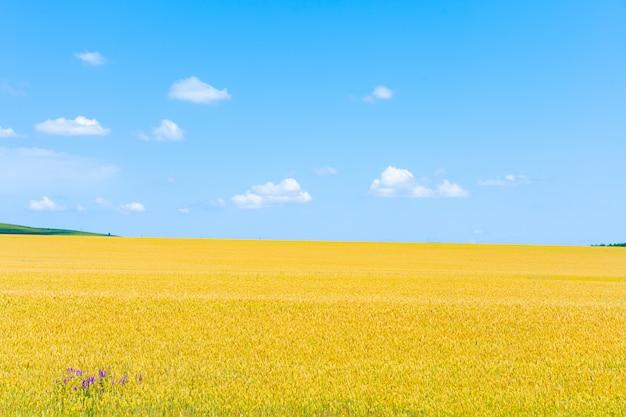 Gebied van het kweken van tarwe op de hemel