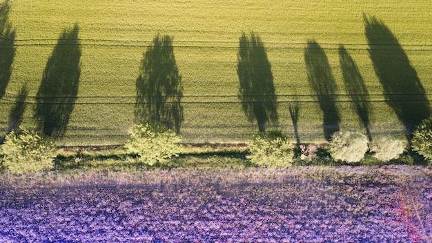 Gebied van lavanda met schaduw van bomen