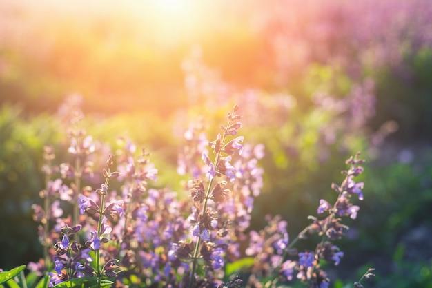 Gebied van lila bloemen in de stralen bij zonsondergang