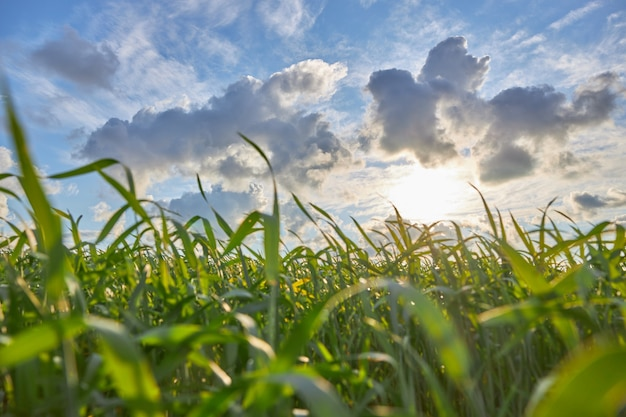 Gebied van maïs met bewolkte hemel en zonsondergang