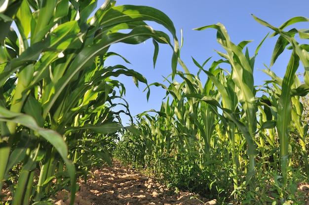 Gebied van maïs