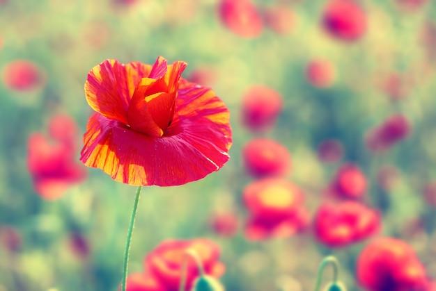 Gebied van mooie rode papavers met groen gras. instagram-achtige filter