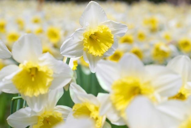 Gebied van mooie witte narcissen, zachte backhround