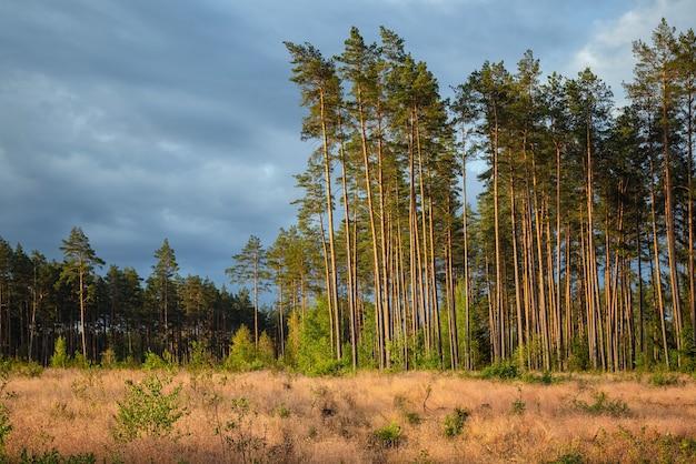 Gebied van ontbossing in het dennenbos.