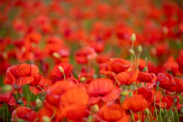 Gebied van poppy flowers bloeien in het voorjaar, tsjechië