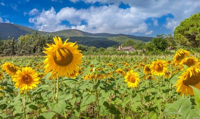 Gebied van prachtige bloeiende zonnebloemen. Landelijke landschappen van Toscane, Italië.