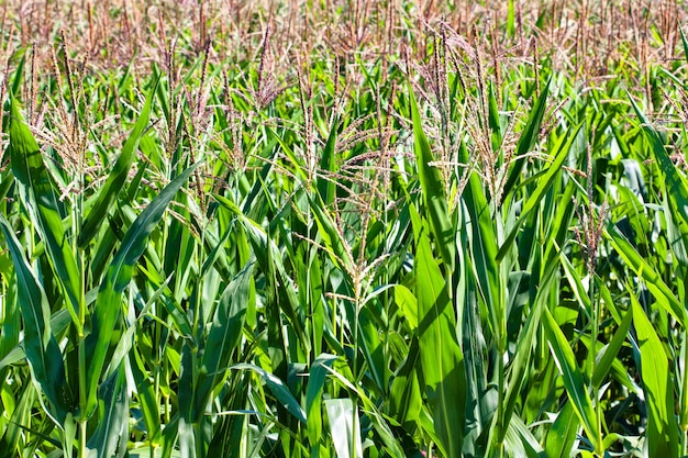 Gebied van rijp maïs