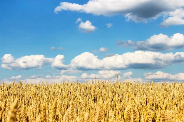 Gebied van rijpe rogge tegen de hemel met wolken in het zonnige weer