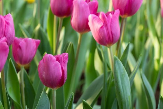 Gebied van roze tulpen in de lentedag. kleurrijke tulpenbloemen in tuin van de de lente de bloeiende bloesem.