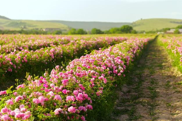 Gebied van rozen
