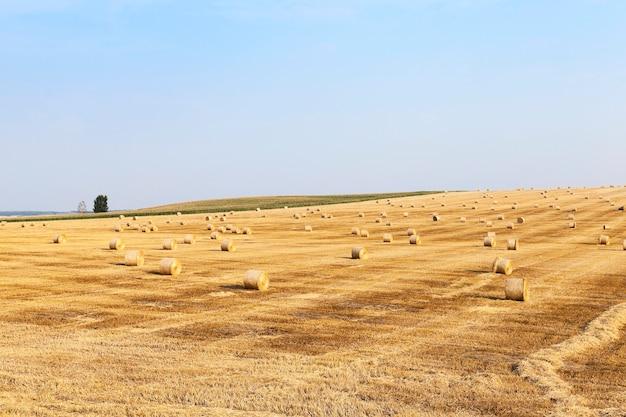 Gebied van tarwe gefotografeerd gebied dat de hooibergen van het de blauwe hemelstro van de tarweoogst verzamelt
