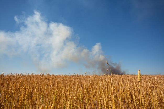 Gebied van tarwe in brand. landbouwgewassen met een rookwolk van vuur op de achtergrond