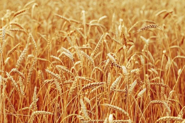 Gebied van tarwe in de herfst rurale landschap rijpe tarwe op veld graangewas in zonlicht rijke oogst concept