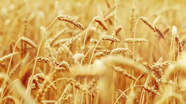 Gebied van tarwe in de herfst
