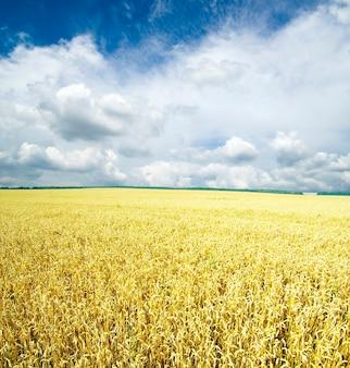 Gebied van tarwe over blauwe hemel