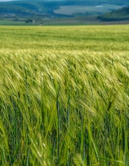 Gebied van tarwe waait in de wind op zonnige lentedag