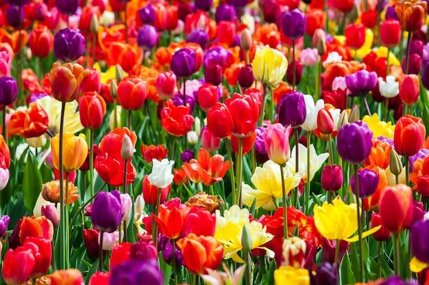 Gebied van tulpen van verschillende kleuren in park keukenhof, nederland
