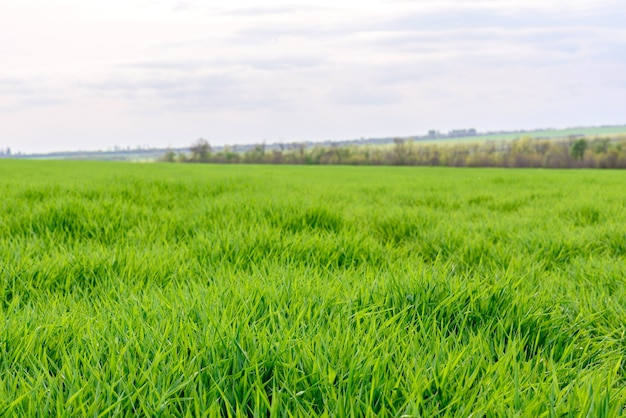 Gebied van vers groen gras textuur als achtergrond, boven close-up weergave, horizontaal