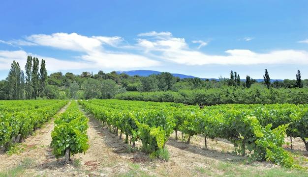 Gebied van wijnstok in de zomer groeiend in de vaucluse in frankrijk