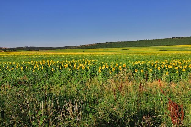 Gebied van zonnebloemen in bulgarije