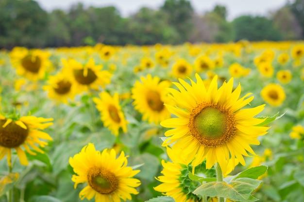 Gebied van zonnebloemen in januari, zonnebloemlandbouwbedrijf