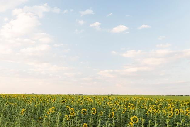 Gebied van zonnebloemeninstallaties met blauwe hemel in de zomer