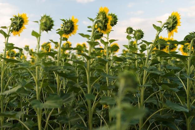 Gebied van zonnebloemenplanten met blauwe hemel