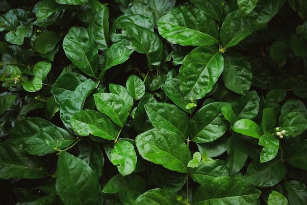 Gebladerte van tropisch blad in donkergroen met regenwaterdaling op textuur