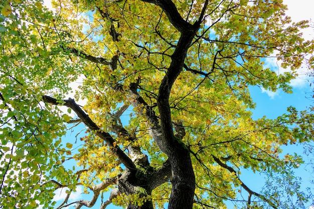 Gebogen stam van eik en takken met gekleurde bladeren tegen blauwe hemel met witte wolken in zonnige herfstdag