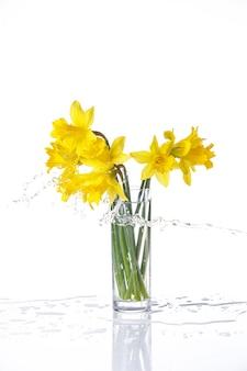 Gebonden narcis geïsoleerd op wit, zomerbloemen in glas met spatten van water, met reflectie