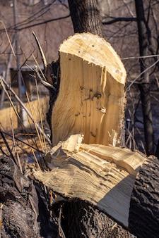 Gebroken boom van houtsplinters na het zagen