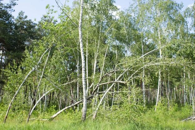 Gebroken of omgevallen berkenbomen in het bos in de zomerdag