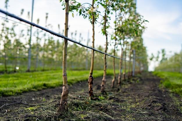 Gebruik van druppelirrigatie in een jonge appelboomtuin