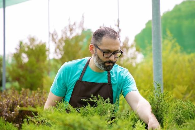 Geconcentreerde tuinman groeiende groenblijvende planten. grijsharige man in brillen dragen blauw shirt en schort zorg voor kleine thuja's in kas. commerciële tuinieren activiteit en zomerconcept