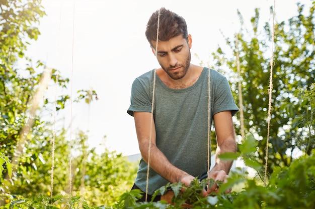 Geconcentreerde volwassen knappe spaanse man in blauw shirt werken in de tuin, waken over groenten, planten water geven, avond buiten doorbrengen.