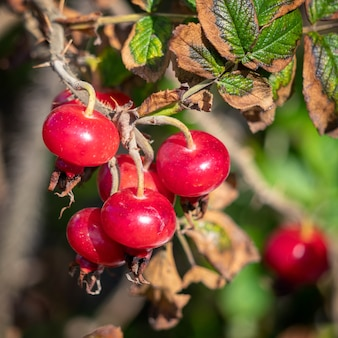 Gecultiveerde rozenbottels groeien in broad haven pembrokeshire