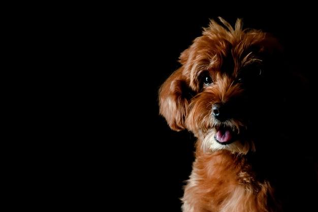 Gedeeltelijk portret van de aanbiddelijke bruine toy poodle-hond die en aan camera kijken glimlachen die op zwarte achtergrond wordt geïsoleerd.